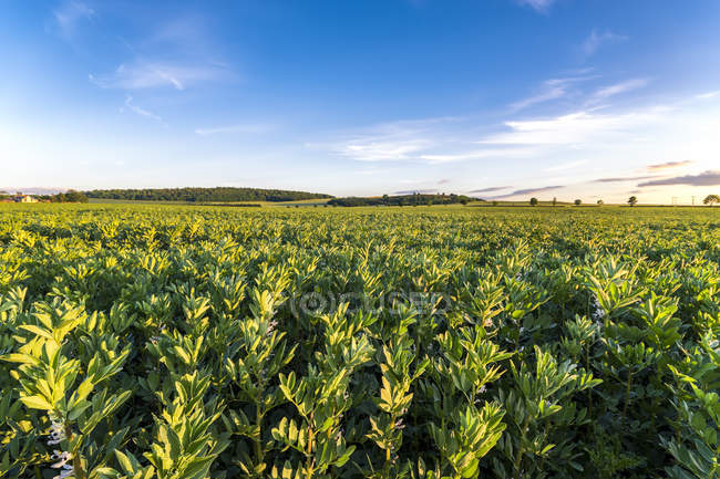 UK, Scotland, East Lothian, view of broad bean field — Stock Photo