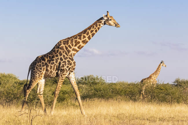 Botswana, Kalahari, Central Kalahari Game Reserve, Giraffes walking, Giraffa camelopardalis — Stock Photo