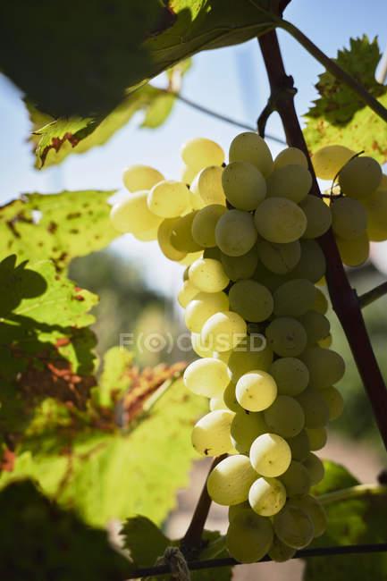 Green grapes on vine stock — Stock Photo