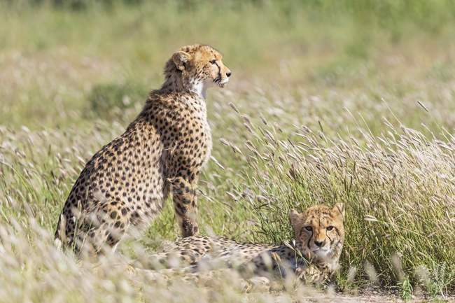 Botswana, kgalagadi grenzüberschreitender park, geparden, acinonyx jubatus — Stockfoto