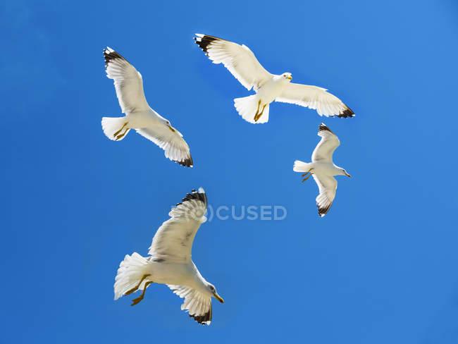 Quatre goélands argentés volant devant le ciel bleu — Photo de stock