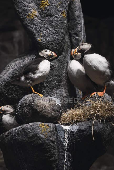 Norvegia, Lapponia, pulcinelle atlantiche appollaiate su rocce — Foto stock