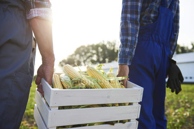 Close-up of two farmers carrying a full crate of corn cobs on field — Stock Photo