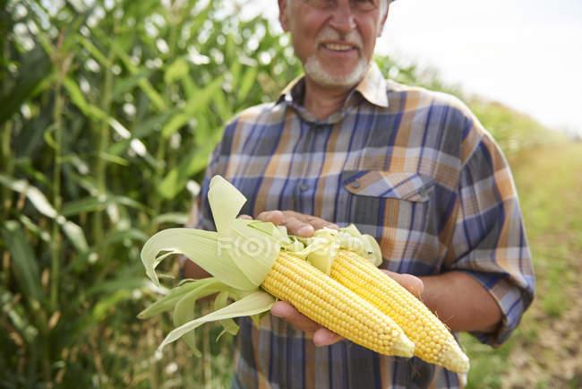 Agricultor segurando duas espigas de milho em campo de milho — Fotografia de Stock