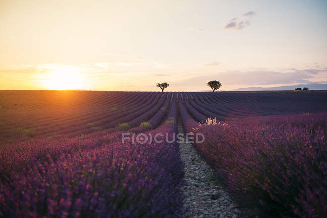 France, Alpes-de-Haute-Provence, Valensole, lavender field at sunset — Stock Photo