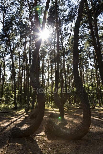 Польща, нове Чарново, Кривий ліс на підсвічування — стокове фото