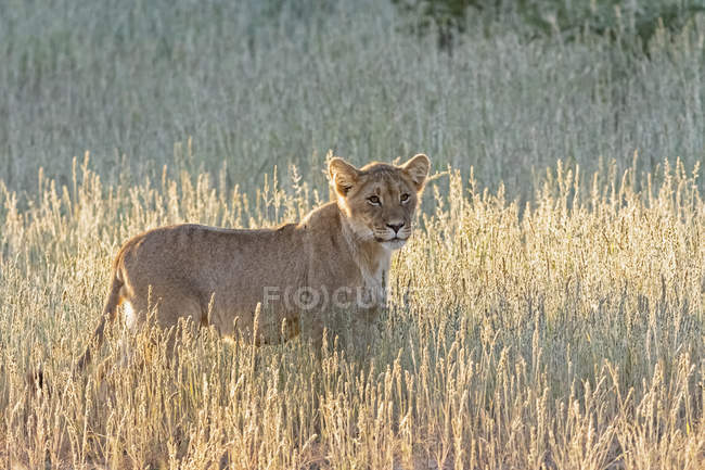 Botswana, Kgalagadi Transfrontier Park, lion, Panthera leo — Stock Photo