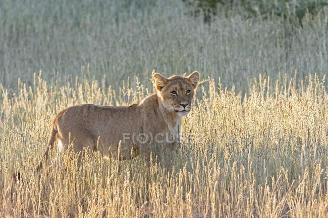 Botswana, Parque Transfronterizo Kgalagadi, león, Panthera leo - foto de stock