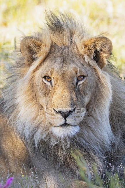 Botswana, kgalagadi grenzüberschreitender park, löwe, panthera leo, männlich — Stockfoto