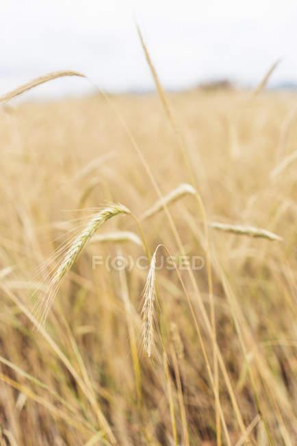 China, Provinz Yunnan, Dongchuan, Rotes Land, reife Weizenohren — Stockfoto
