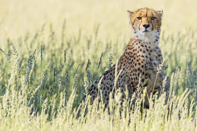 Ботсвана, Kgalagadi Transfrontier парк, Гепард, Астінонікс jubatus — стокове фото