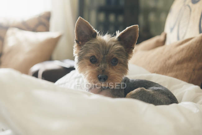 Retrato de yorkshire terrier deitado no travesseiro do cão — Fotografia de Stock