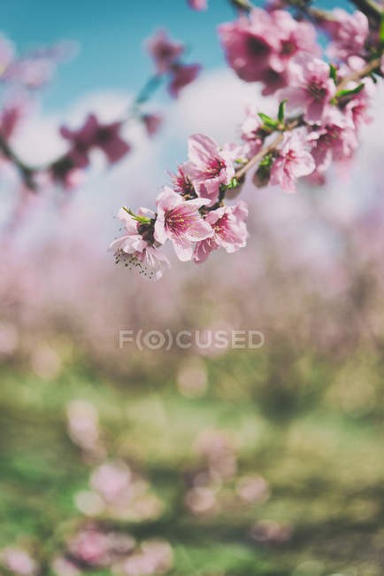 Close up of Pink peach blossoms — Stock Photo