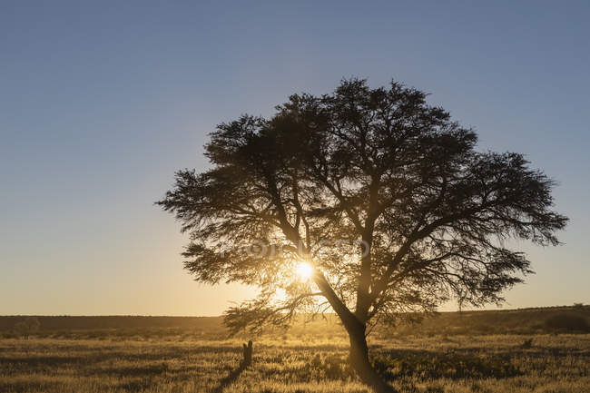 Botswana, Kgalagadi Transfrontier Park, Kalahari, camelthorn at sunrise — Stock Photo