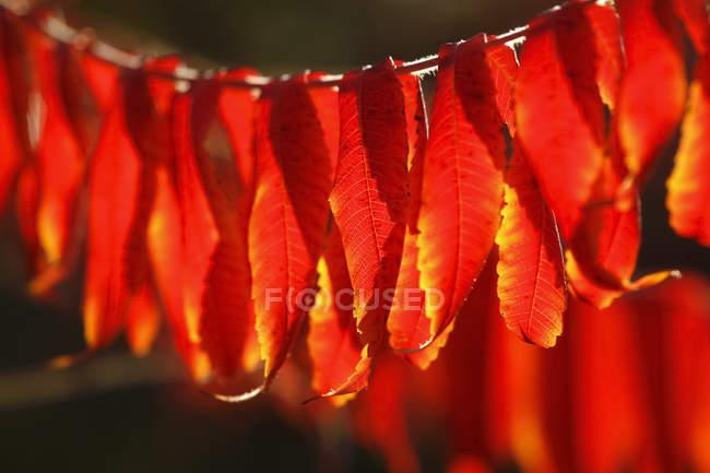 Leuchtend rote Blätter im Herbst — Stockfoto