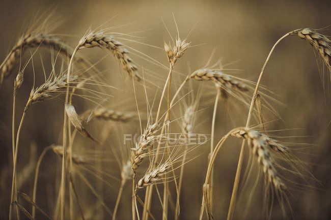 Nahaufnahme des Weizenanbaus auf dem Feld bei Sonnenuntergang — Stockfoto