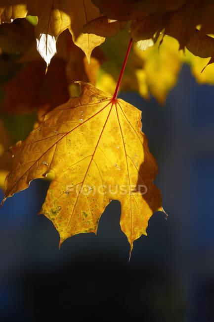 Gelbe Ahorn Blätter im Herbst — Stockfoto