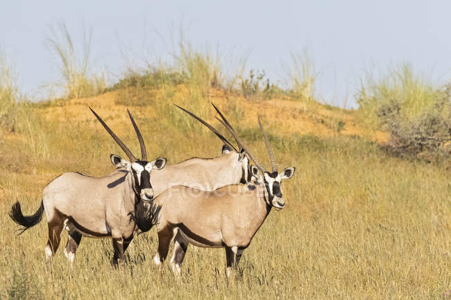 Ботсвана, Калахари, Кгалагади, Джемсбокс, Орикс Газелла — стоковое фото