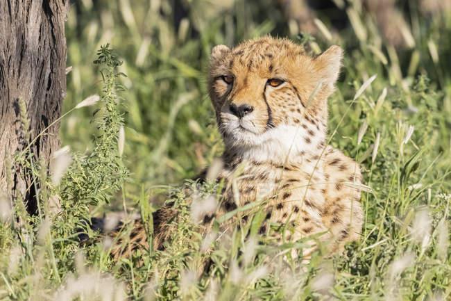 Botsuana, Parque transfronteiriço de Kgalagadi, chita, Acinonyx jubatus — Fotografia de Stock