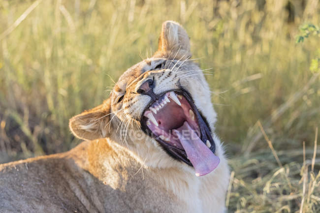 Botswana, Kgalagadi Transfrontier Park, lion, Panthera leo, young animal yawning — Stock Photo