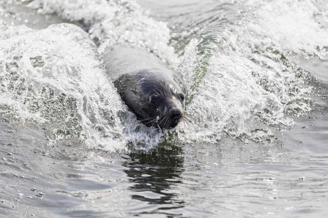 Namibia, Walvis Bay, portrait of swimming cape fur seal — Stockfoto