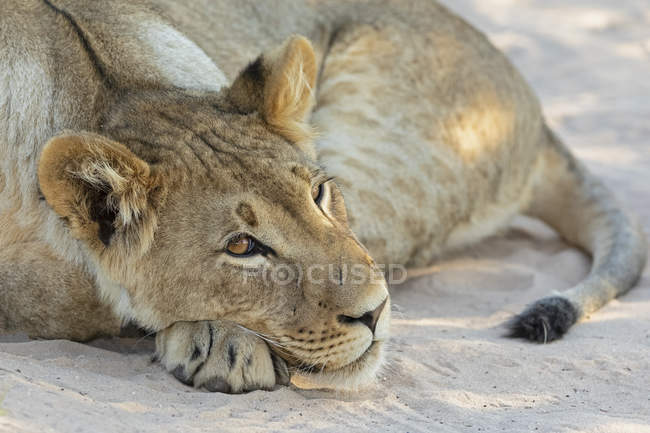 Botswana, Kgalagadi Transfrontier Park, lion, Panthera leo, jeune animal couché — Photo de stock