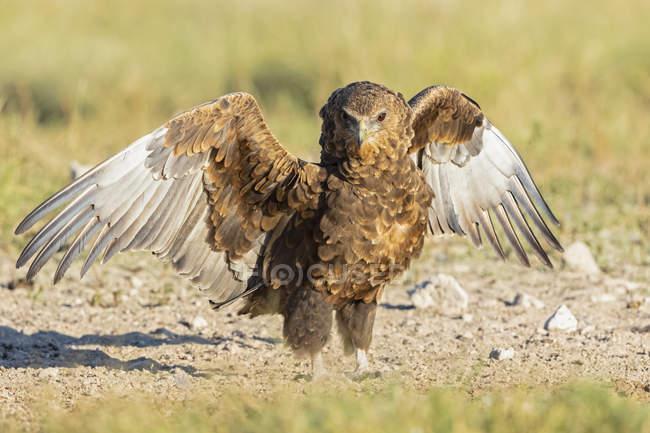 Botswana, Parque Nacional Transfronterizo Kgalagadi, Reserva de Caza Mabuasehube, águila Bataleur, animal joven, Terathopius ecaudatus - foto de stock