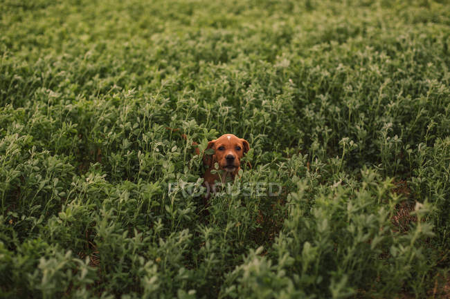 Puppy among grass in the field — Stock Photo