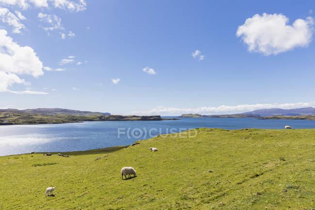 Royaume-Uni, Écosse, Hébrides intérieures, île de Skye, Loch Harport, moutons dans les pâturages — Photo de stock