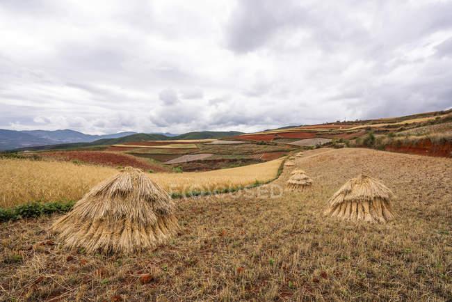 China, provincia de Yunnan, Dongchuan, Tierra Roja, campo durante la cosecha - foto de stock
