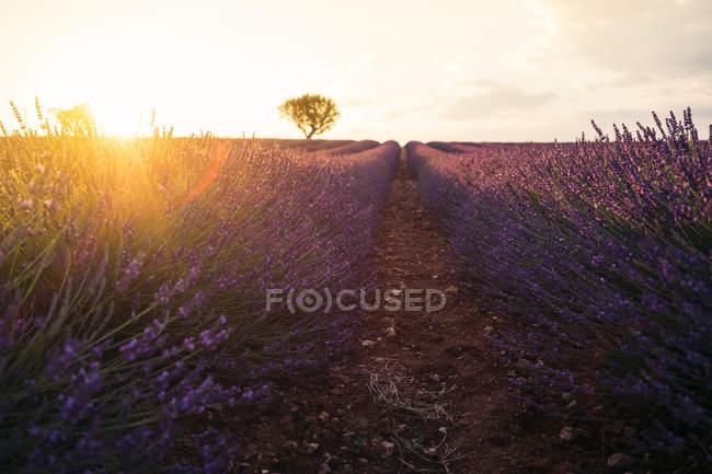 France, Alpes-de-Haute-Provence, Valensole, champ de lavande au coucher du soleil — Photo de stock