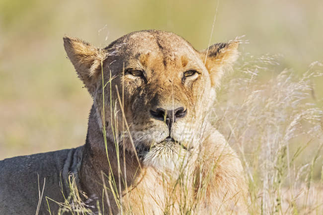 Botswana, Kgalagadi Transfrontier Park, portrait of lioness — Stock Photo