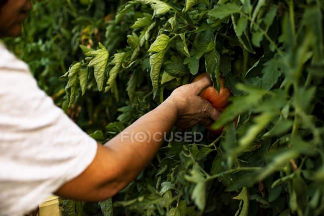 Hands of a senior woman harvesting tomato — Stock Photo
