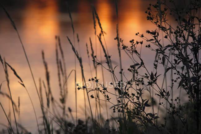 Allemagne, herbes au bord du lac, afterglow — Photo de stock