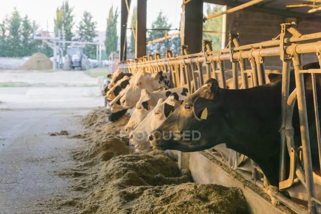 Корови в стійкому на фермі — стокове фото