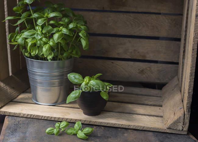 Базилик в деревянной коробке — стоковое фото