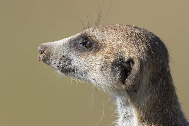 Botswana, Parco Transfrontaliero delle Kgalagadi, Kalahari, Ritratto di suricato, Suricata suricatta — Foto stock