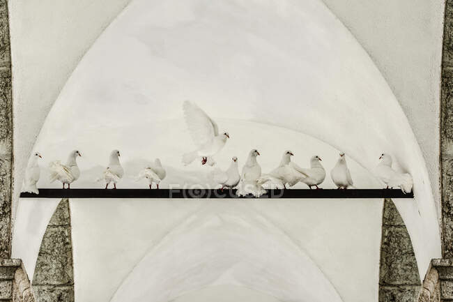 White fantail pigeons on a bar — Stock Photo