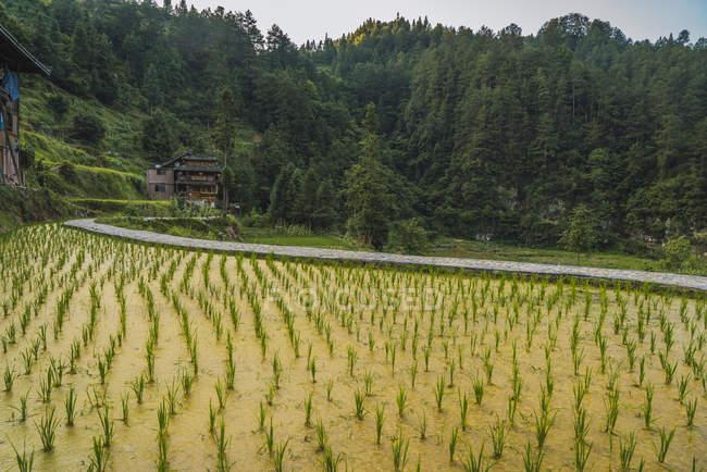 China, Guizhou, Miao rice plantation — Stock Photo