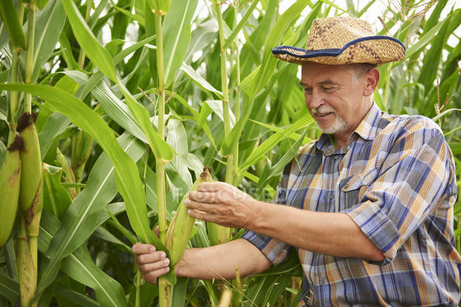 Farmer at cornfield examining maize plants — Stock Photo