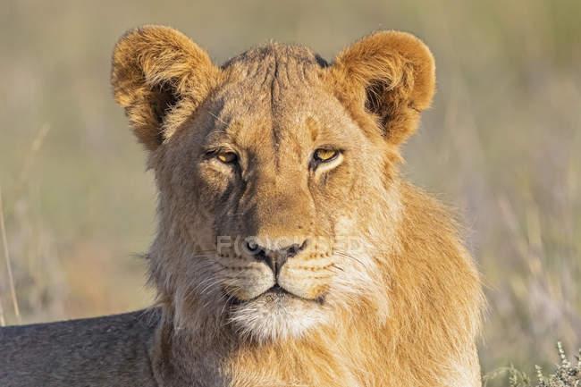 Botswana, Parque do Transfrontier de Kgalagadi, retrato do leão novo — Fotografia de Stock