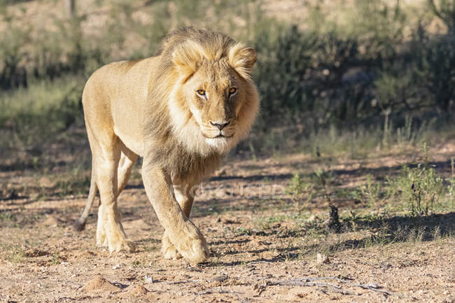 Botswana, Kgalagadi Transfrontier Park, lion, Panthera leo, walking — Stock Photo