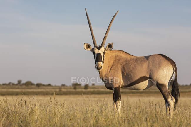 Ботсвана, Национальный парк Кгалагади, заповедник Мабуасехубе, Гемсбок, Oryx gazella — стоковое фото