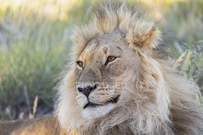 Botswana, Parque Transfronterizo Kgalagadi, león, Panthera leo, macho - foto de stock