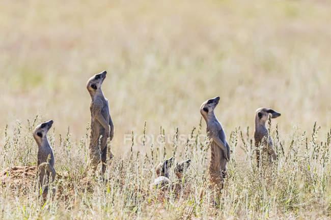 Botswana, kgalagadi grenzüberschreitender park, kalahari, erdmännchen beobachten, aufschauen — Stockfoto