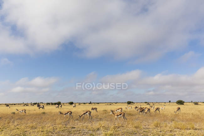 Botswana, Kalahari, Central Kalahari Game Reserve, Gemsboks, Oryx gazella — Stock Photo
