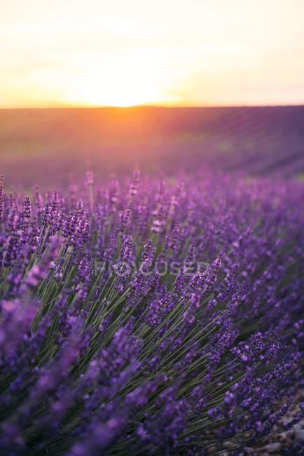 Франція, Альпи-Лазурний берег, Валенпідошва, цвітіння лаванди на полі на заході сонця — стокове фото
