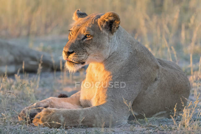 Botswana, Kgalagadi Transfrontier Park, lioness, Panthera leo, in the evening light — стоковое фото