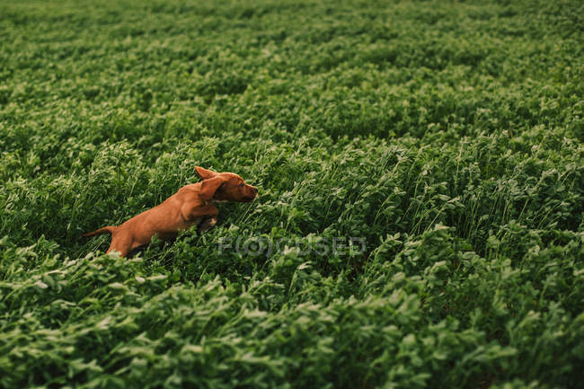 Puppy jumping on meadow — Stock Photo