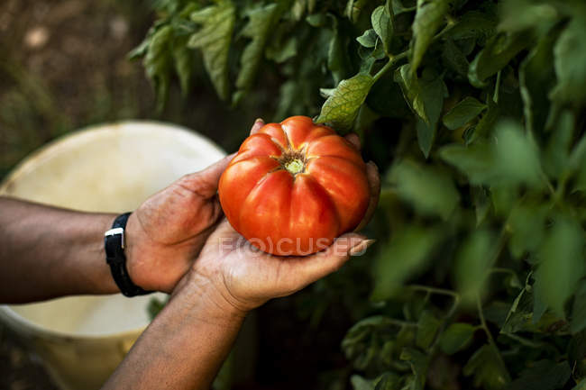 Hands of a woman holding a tomato — Stock Photo